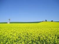 Canola_crop_small